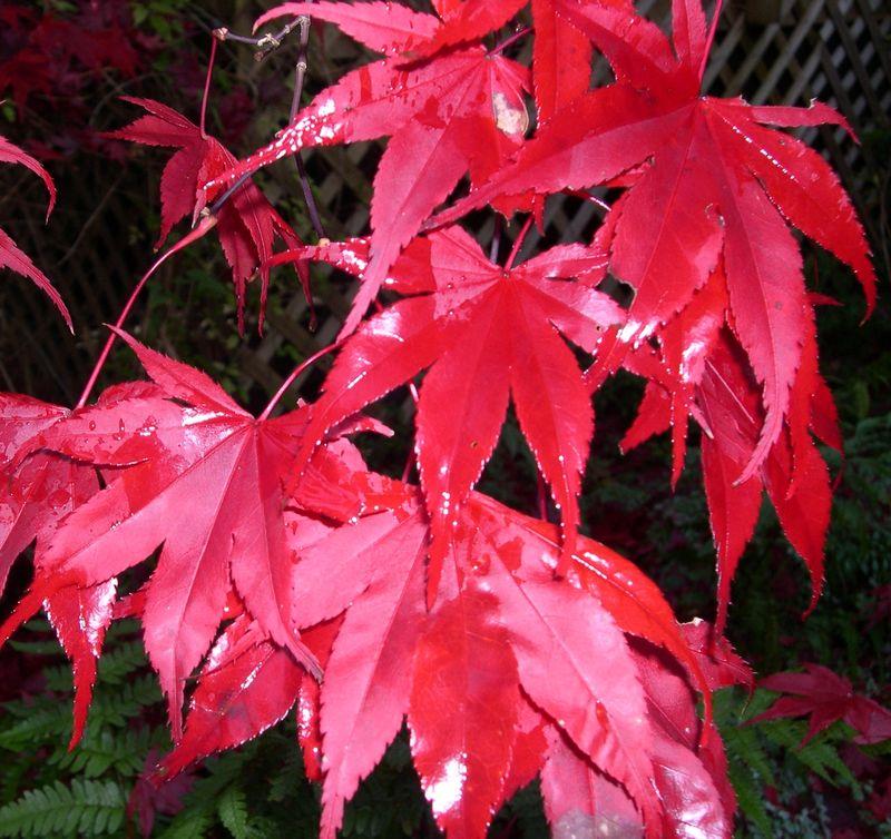 Red maple autumn